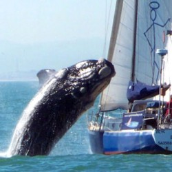 Whale Hits Boat